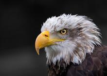 Portrait Of American Eagle Wit...
