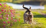 Fototapeta Koty - two cute striped lovebirds are walking on the green grass in the Sunny spring garden among flowers