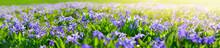 Blue Squills: Purple Spring Fl...