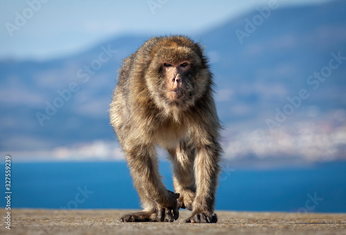 Photo The Gibraltar Barbary macaques, considered by many to be the top tourist attraction in Gibraltar