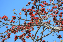 Branch Of Blossoming Bombax Ceiba Tree Or Red Silk Cotton Flower