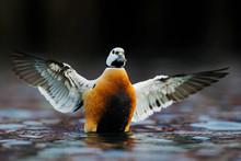 Steller's Eider Duck Male With...