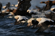 Eurasian Eider Duck Males And Females