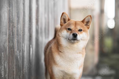 Fotografia, Obraz chien shibainu @saina.shibainu