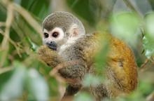 Squirrel Monkey In Green Veget...