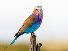 Lilac-breasted Roller With A C...