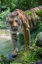 Tiger (Panthera Tigris) Raubti...