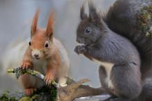 Eurasische Eichhörnchen (Sciu...