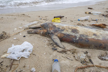 Dead Young Dolphin Is Washed Up On The Shore Surrounded By Plastic Bottles, Bags And Rubbish Thrown In The Sea, On Background A Black Sea. Plastic Pollution Killing Marine Animals. Odessa, Ukraine