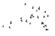 Flocks of flying pigeons isolated on white background. Save with clipping path.