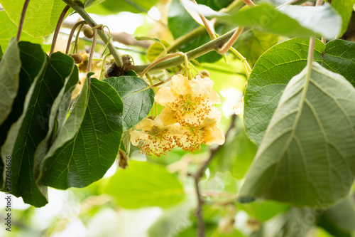 Photo kiwi flowers and plant actinidia