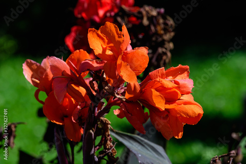 Red flowers of Canna indica, commonly known as Indian shot, African arrowroot, e Wallpaper Mural