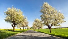 Alley Of Flowering Cherry Tree...