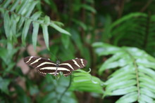 View Of A Zebra Butterfly With...