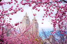 View Of The Blossom Cherries In The Japanese Garden In New York City