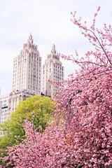 Fototapeta Nowy York View of the blossom cherries in the Japanese garden in New York City