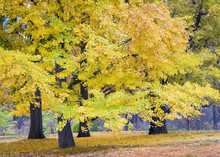 An Amazing Tree Of Prehistoric Origin, The Ginkgo, Or Maidenhair Tree Turns A Brilliant Yellow-gold During The Autumn Season.
