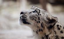 Snow Leopard Big Cat Found In ...