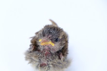 Squab Chick Birds Three Days Old Yellow Vented Bulbul On White Background