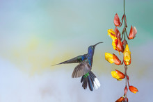 Violet Sabre Wing Hummingbird Looking For Nectar In A  Indian Clock Vine Flower