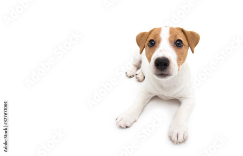 Papel de parede Jack Russell Terrier puppy isolated on white background