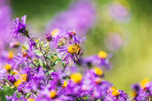 Honey Bee Pollinating Purple Aster Flower In USA Canada Garden In Autumn Fall Nature Background. Bees, Flowers Copy Space.