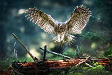 Tawny Owl In Flight (strix Alu...