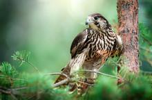Bird Of Prey Peregrine Falcon Sitting On Pine Branch. Falco Peregrinus In Natural Habitat.