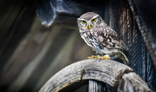 The Little Owl Sitting On Old ...