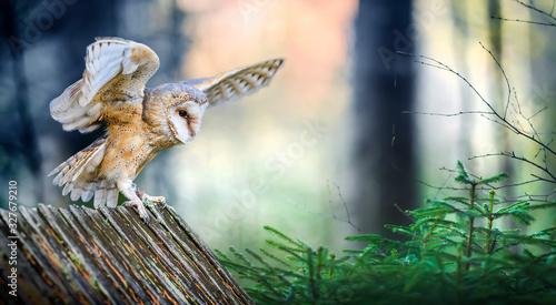 Beautiful barn owl bird  in natural habitat sitting on old wooden roof Wallpaper Mural