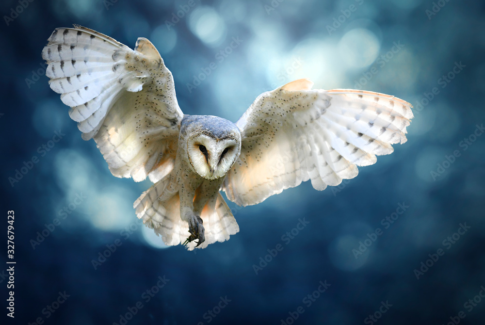 Fototapeta Hunting Barn Owl in flight.  Wildlife scene from wild forest. Flying bird tito alba