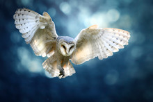Hunting Barn Owl In Flight.  W...
