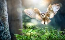 Hunting Barn Owl In Flight.  Wildlife Scene From Wild Forest. Flying Bird Tito Alba