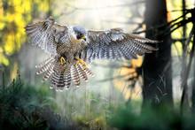 Bird Of Prey Peregrine Falcon ...