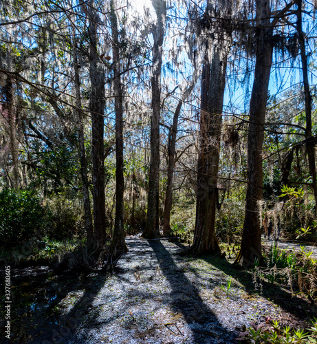 Photo A view of a South Carolina Swamp land with loads of Spanish moss and oak trees