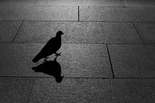Pigeon And Its Shadow On The S...