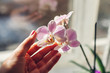 Purple orchid phalaenopsis. Woman taking care of home plants . Close-up of female hands holding violet flowers