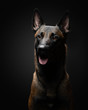 canvas print picture - dog on a black background in the studio. Beautiful light. belgian shepherd portrait.