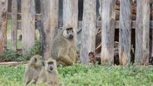 Group Of A Wild Monkeys In Africa, Animal Wildlife.