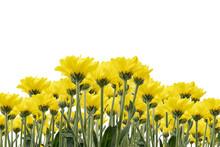 Beautiful Yellow Jerusalem Artichoke Flowers Isolated On White