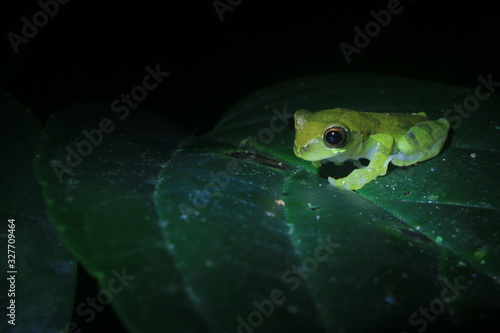 Photo A clown tree frog, Dendropsophus sarayacuensis, at a dark green leaf with a oran