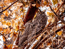 A Pair Of Great Horned Owls In...