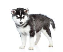 Siberian Husky Puppy Standing ...