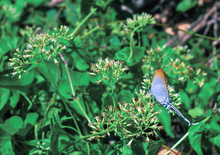Common Imperial Blue Tropical Butterfly. Cheritra Freja From Gossamer-winged Butterflies Family