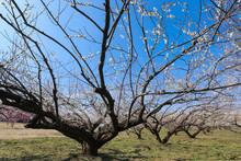 逞しく枝を伸ばす白梅