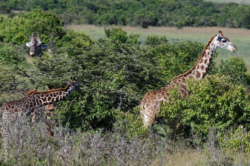 Masai-Giraffen Canvas Print
