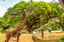 Giraffe Standing Under The Tree