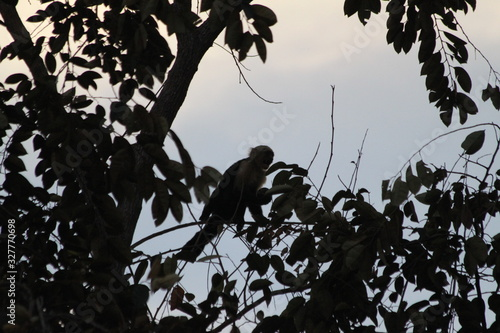 Capuchin monkey family in the tropical forest Fototapet