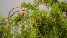 Slow Movement Around Light Brown Dove And Red-faced Mousebird Feeding In Common Wild Currant Tree, Still Close Up Shot