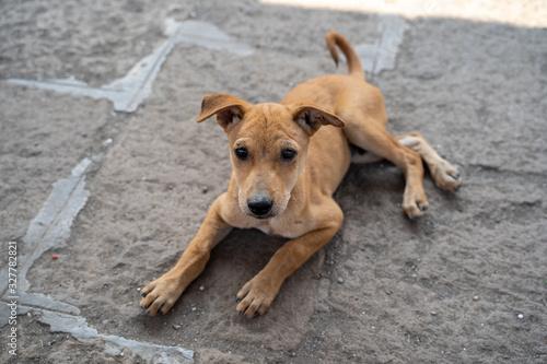 Fotografia, Obraz Adorable stray mixed breed puppy dog sits on the ground in Mumbai, India, waitin